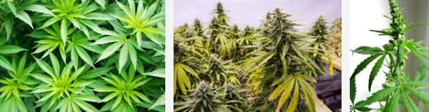 marijuana plant - How Long Does THC Stay In Your System, Urine, Blood, Hair, Saliva