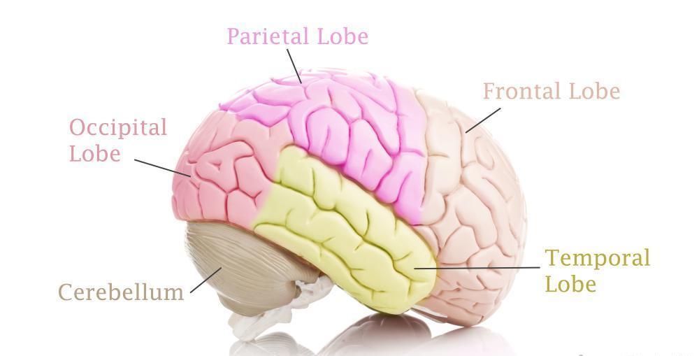 Human Brain Lobes